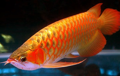Golden dragon fish wealthymatters for Freshwater dragon fish